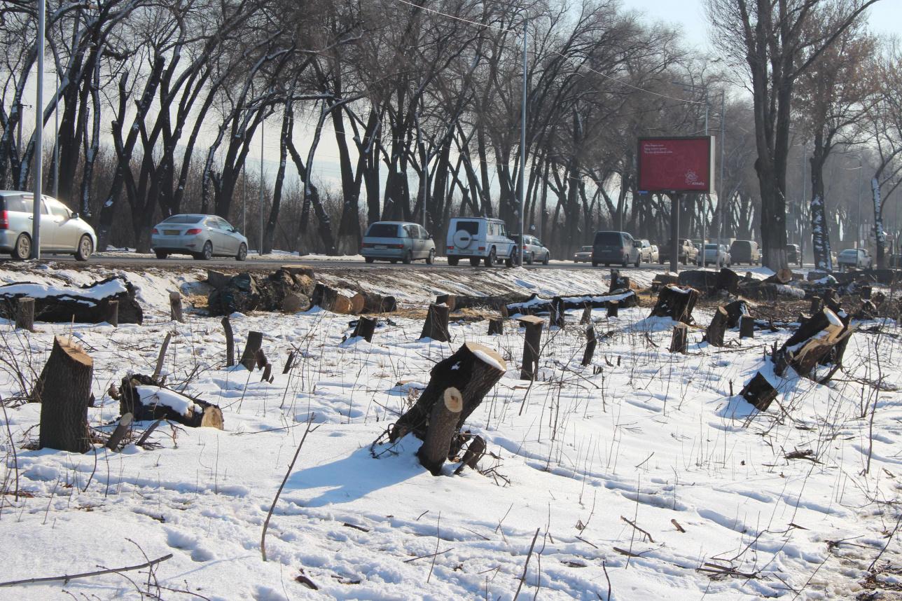 Кульджинский тракт. За экопостом вырубают деревья