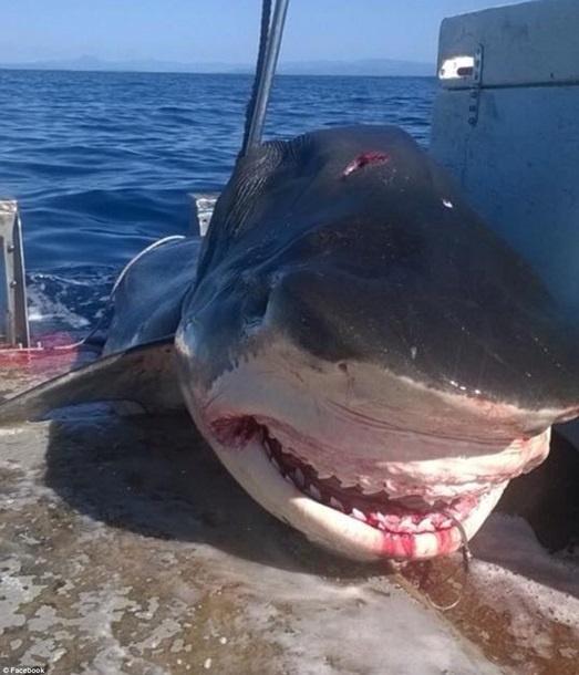 Шестиметровая акула едва уместилась на рыбацкое судно