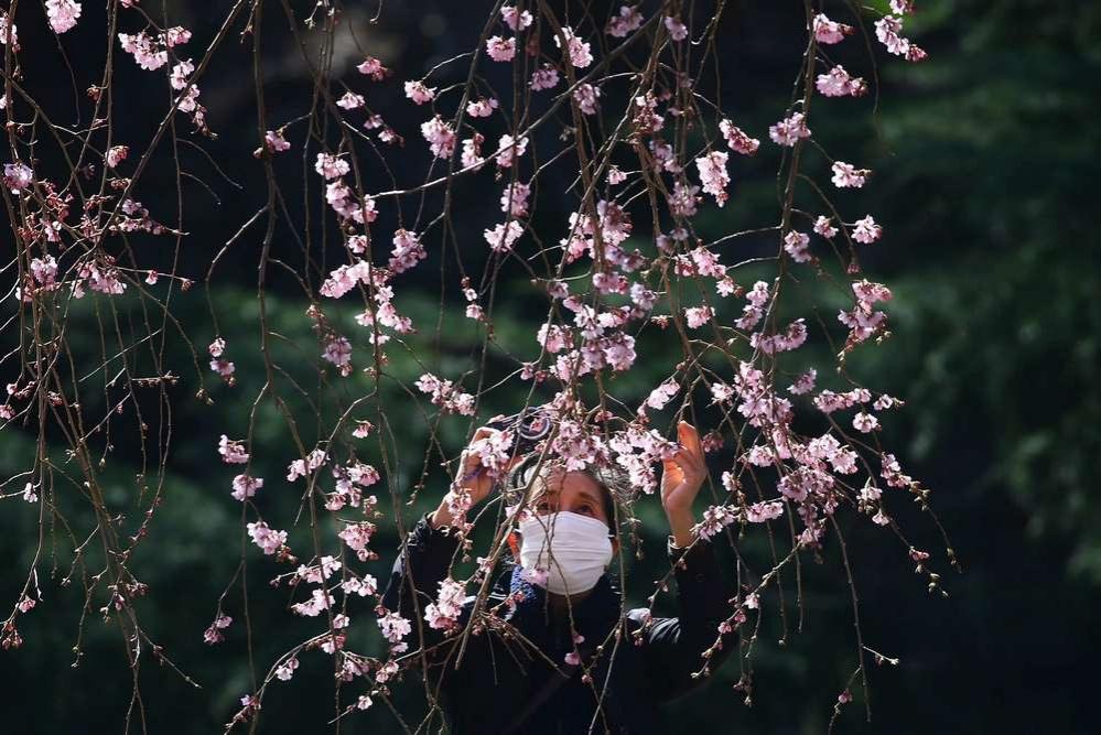 Сезон цветения сакуры в Японии объявили открытым