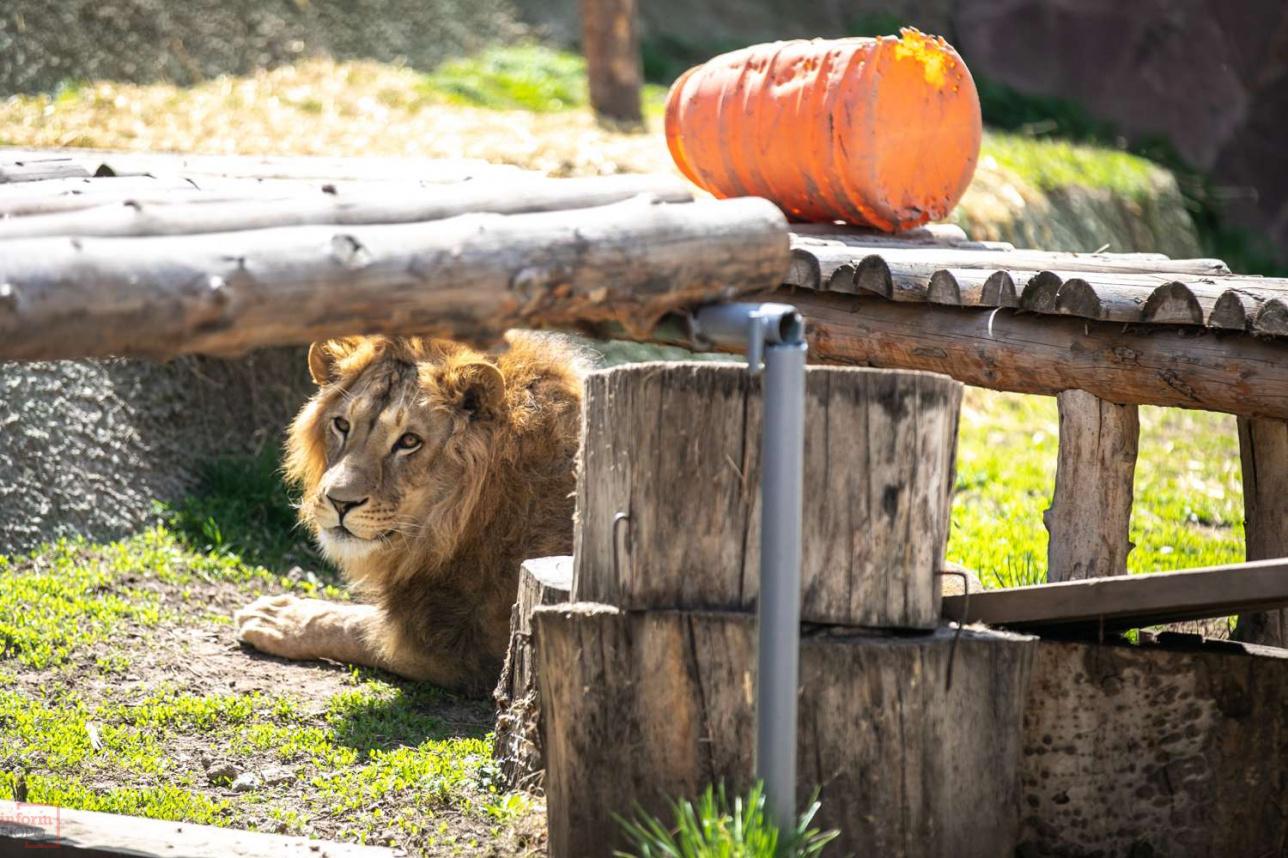 Львы рады возможности выйти на открытый воздух
