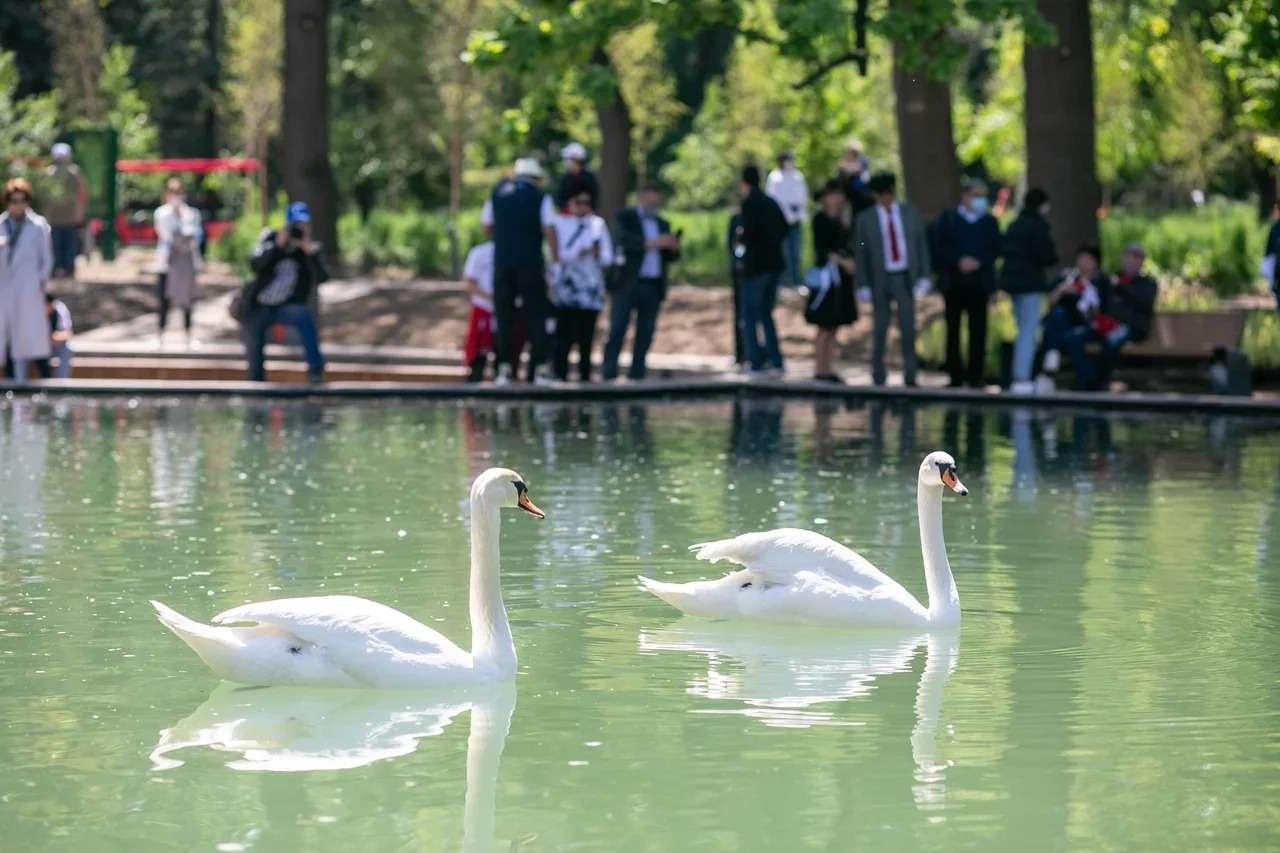 Лебеди плавают в пруду Ботсада
