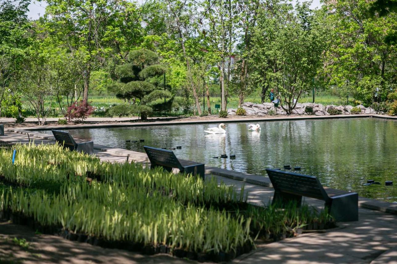 В восстановленном пруду плавают лебеди