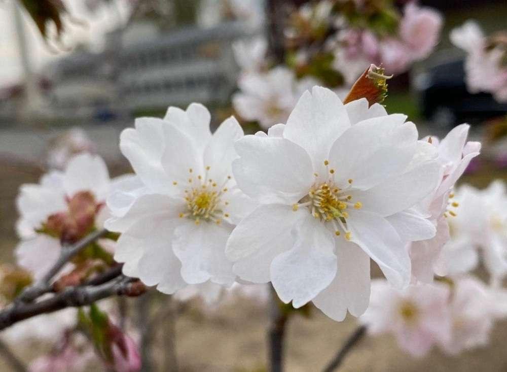 """Цветок сакуры """"Нур-Султан"""" состоит из 10 лепестков"""