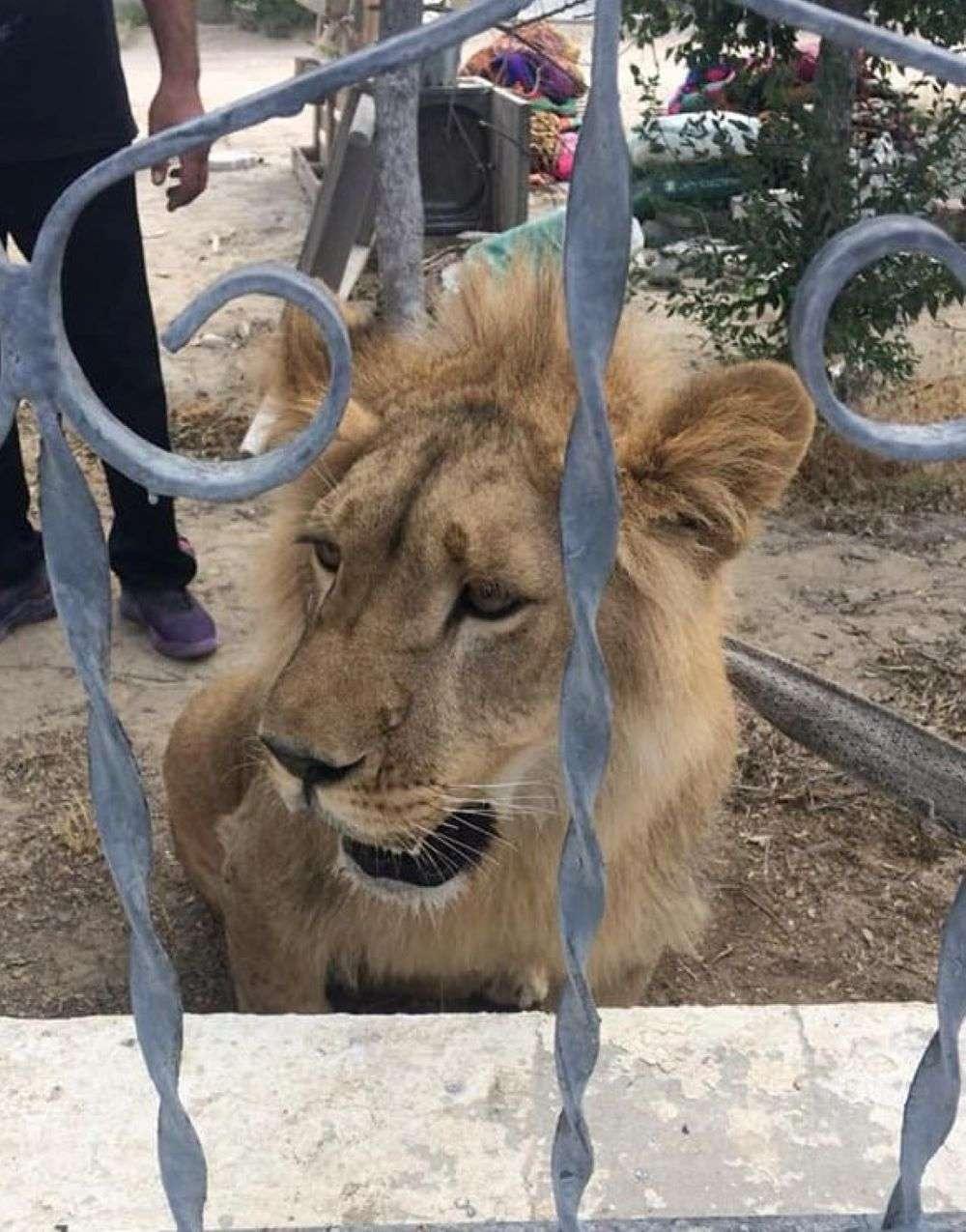 В Мангистауской области поймали льва. Его возраст примерно год-полтора