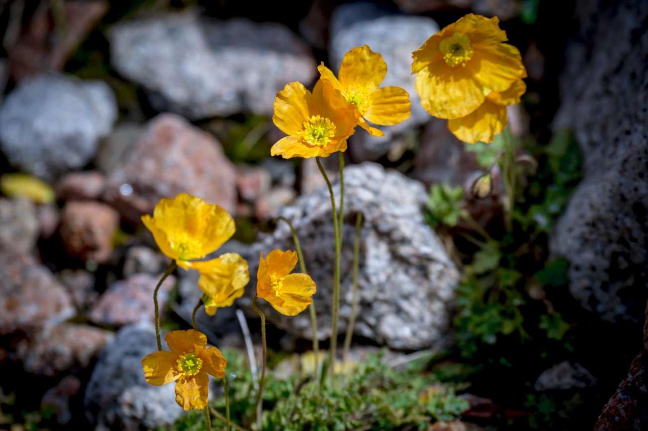 Альпийские маки цветут в августе