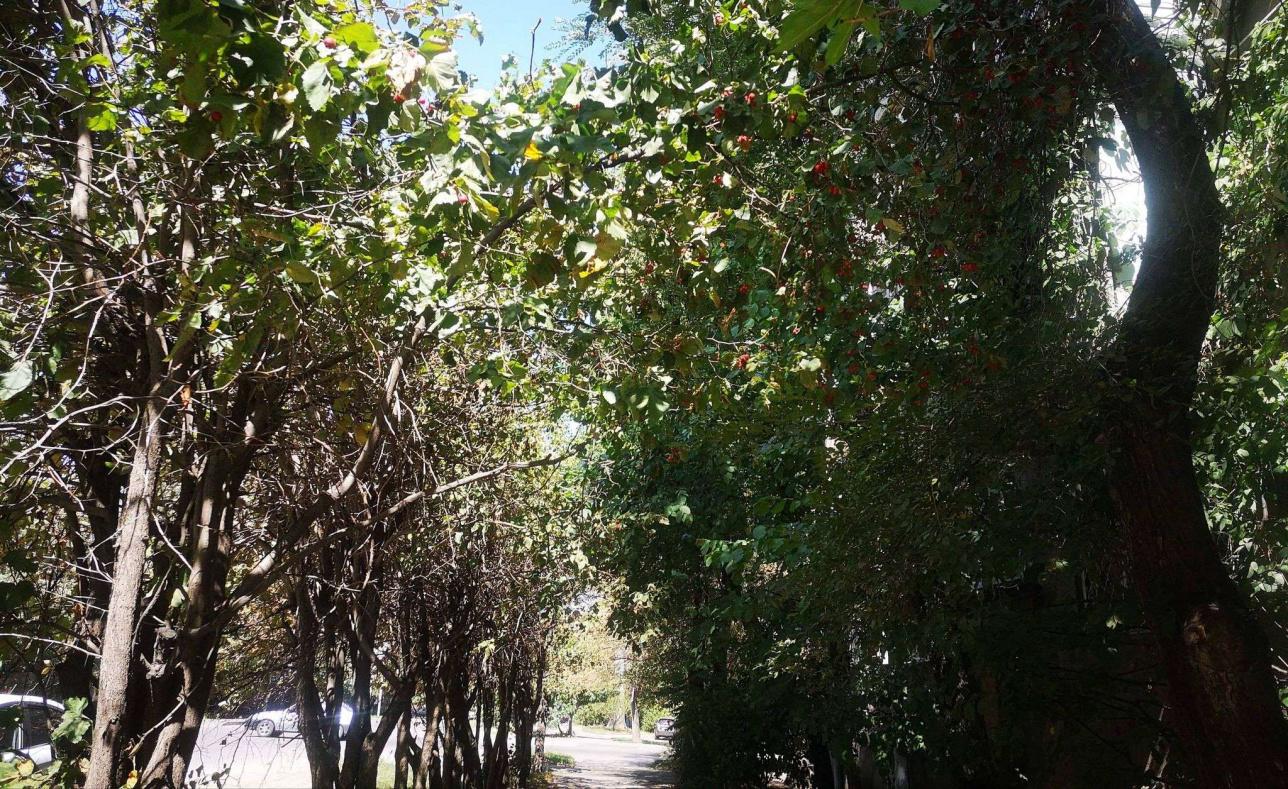 Алматының Нұрмақов көшесіндегі долана ағашы