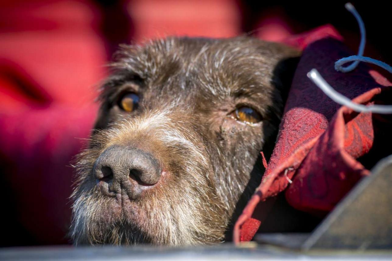 За всем происходящим как-то безучастно наблюдает охотничий пёс