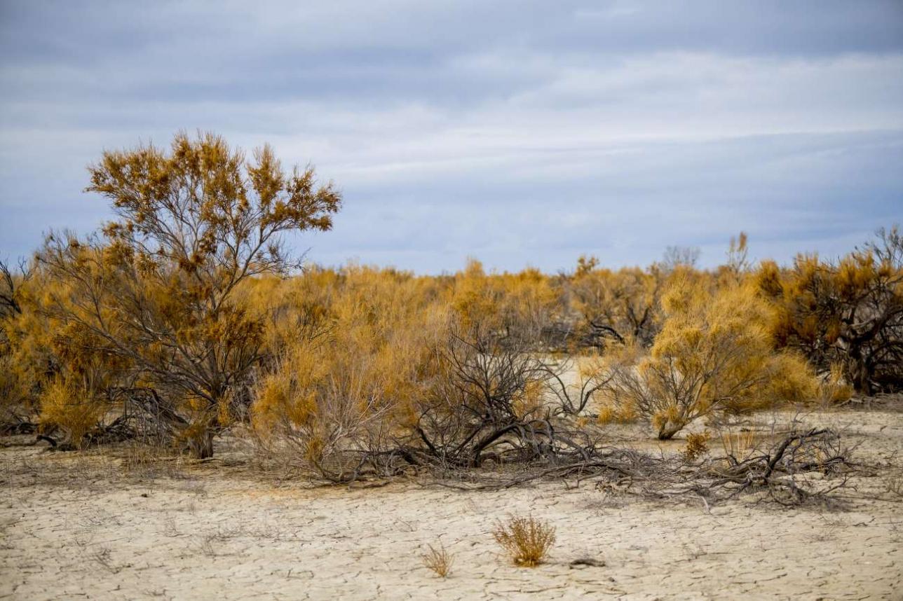 Саксаул – единственное дерево, которое может расти в пустыне…