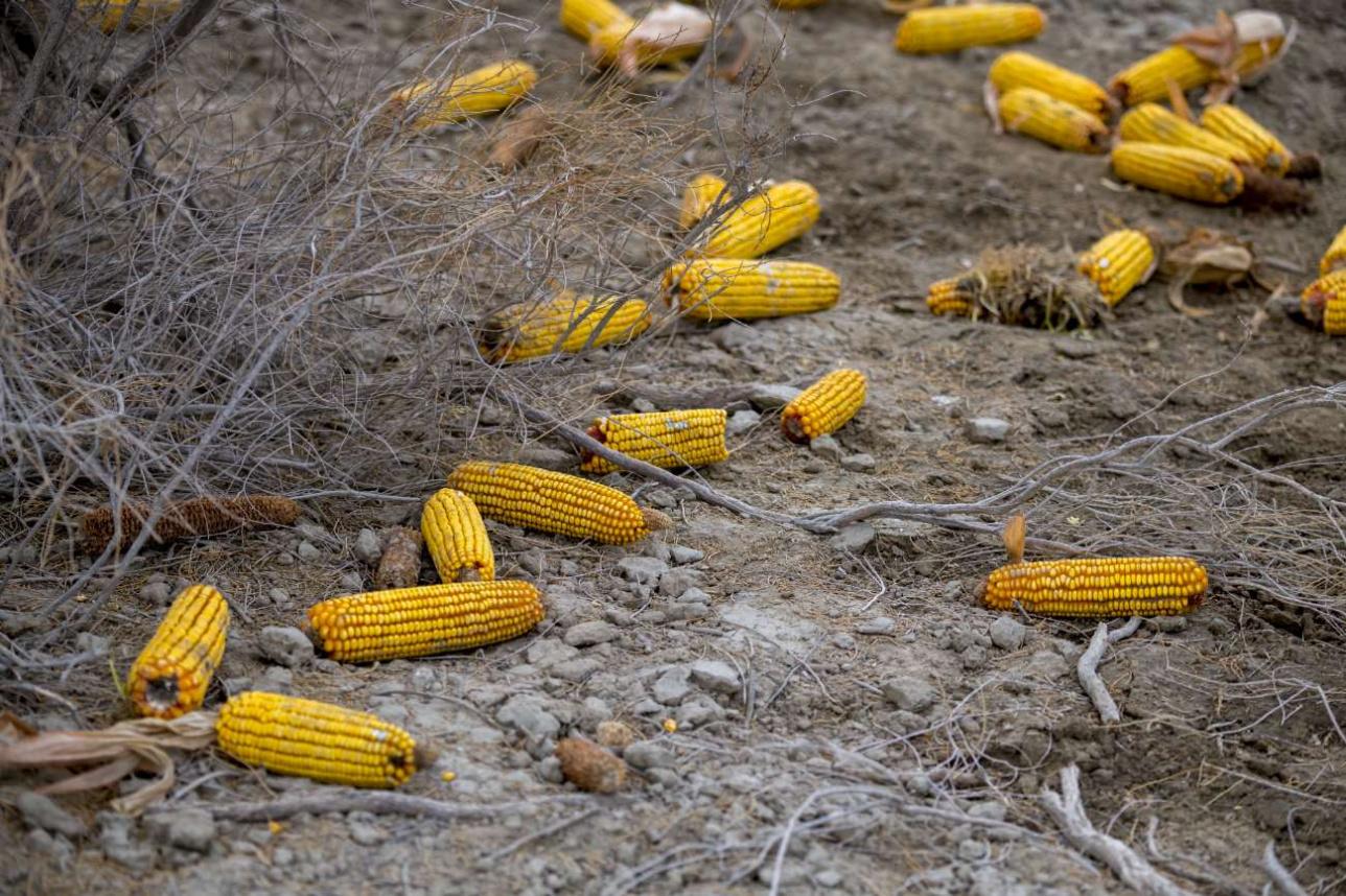 Кабаны очень любят кукурузу