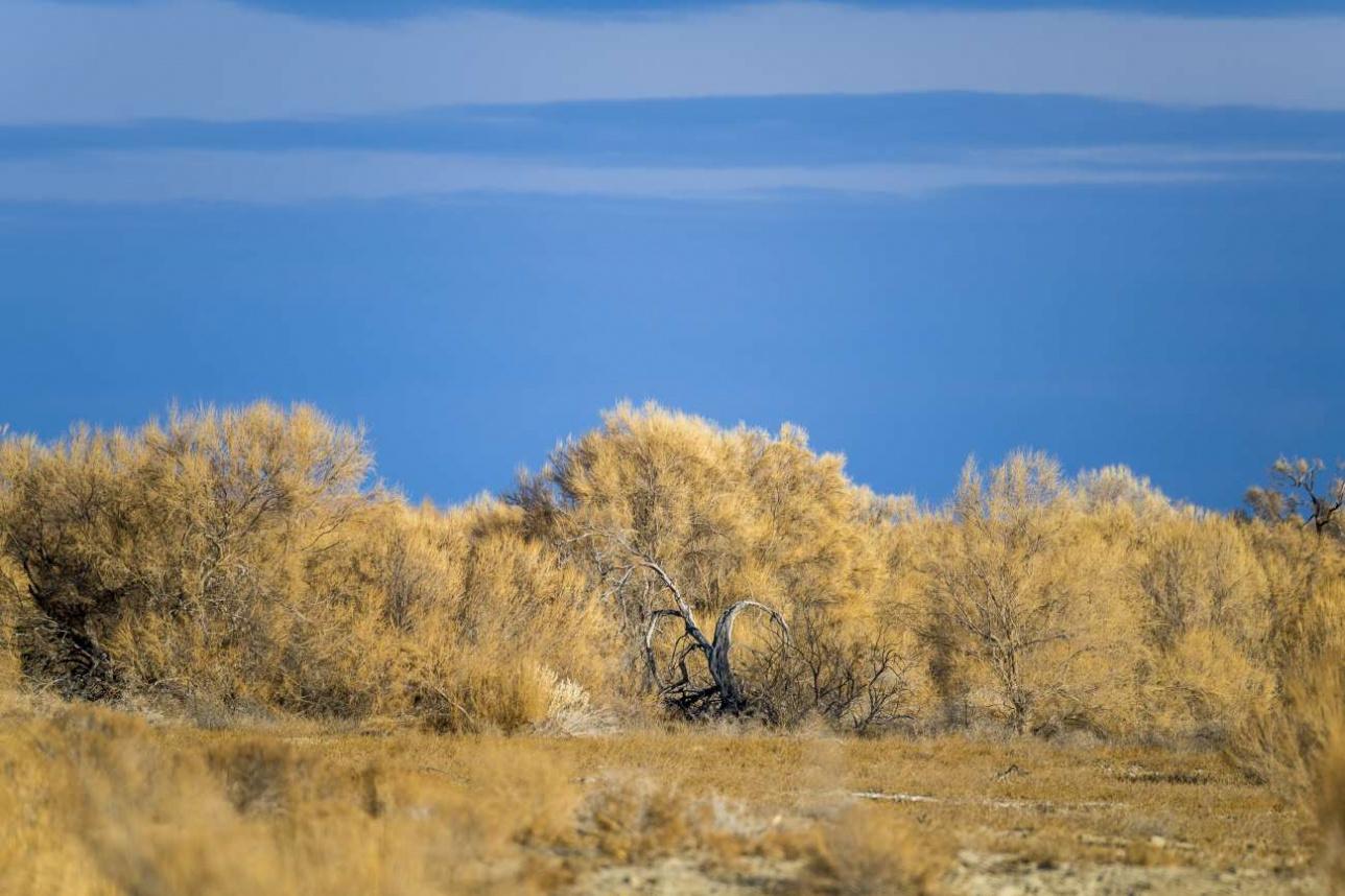 Ещё один регион, где может обитать туранский тигр – узбекское Приаралье