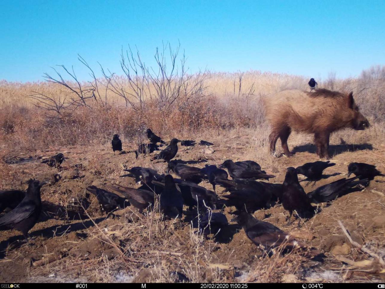 Снимки с фотоловушек показывают, что кабан, на самом деле, очень забавное животное