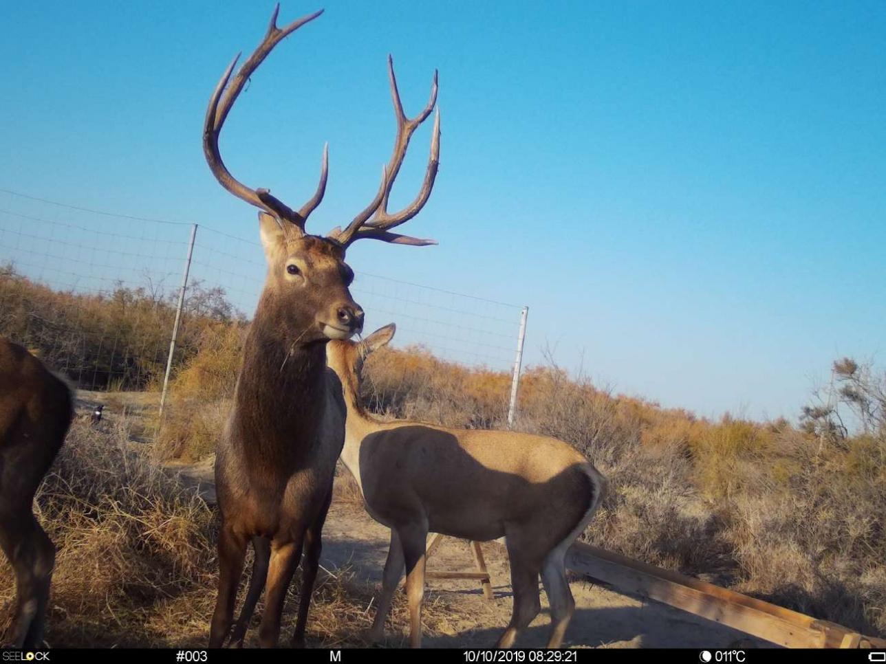 Тугайный (бухарский) олень в адаптационном вольере на территории резервата