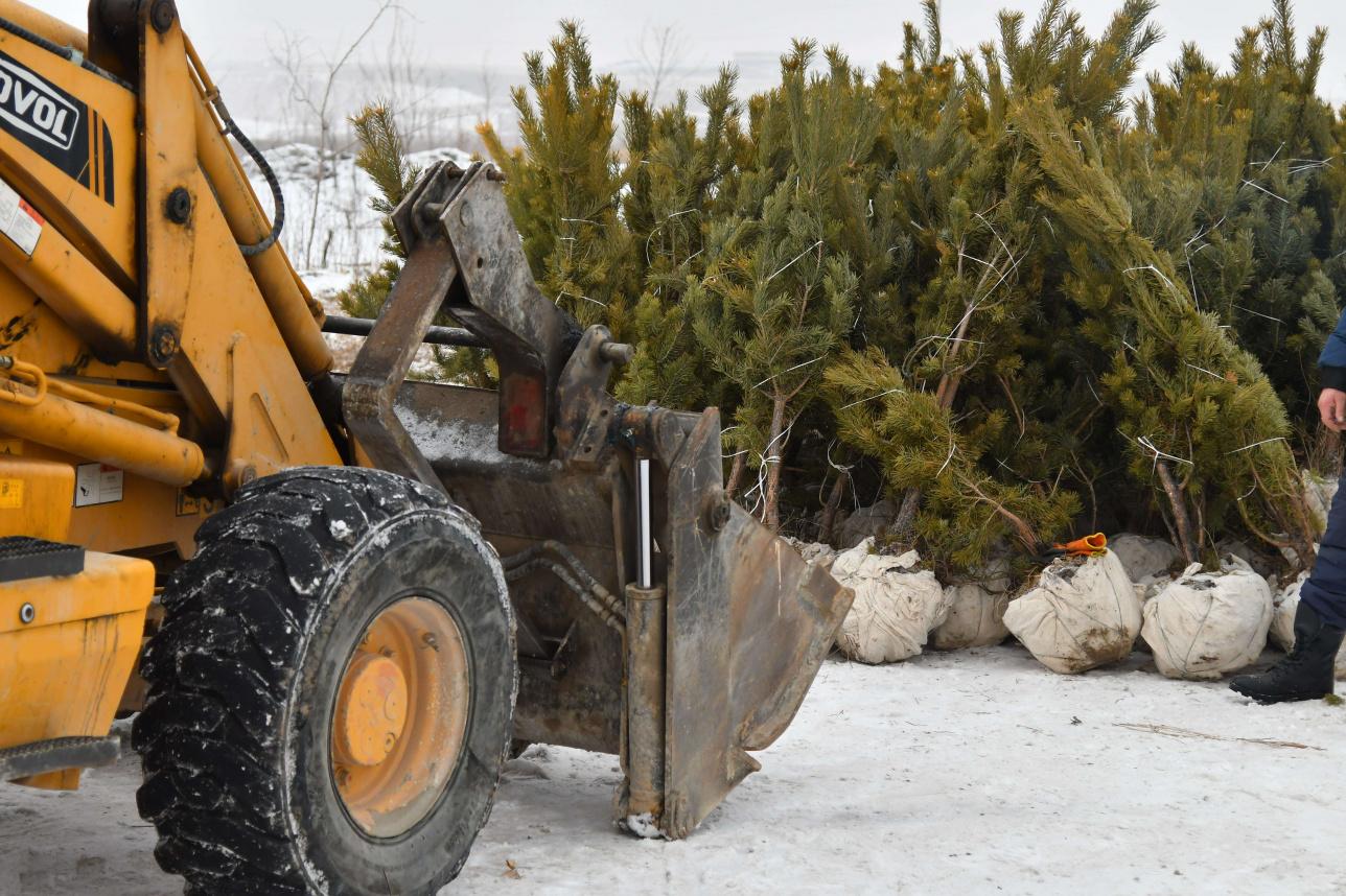Высадка деревьев в сосновом бору