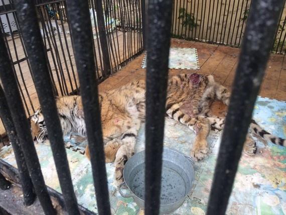 Тигрица Куралай погибает в зоопарке