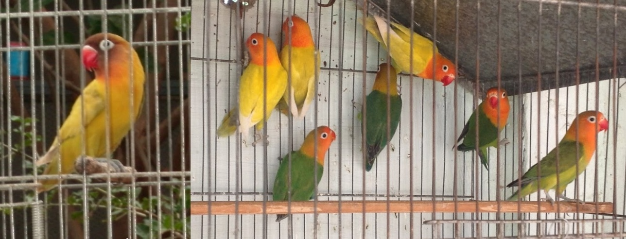 Тысяча попугаев-неразлучников погибла от жары в Тайване