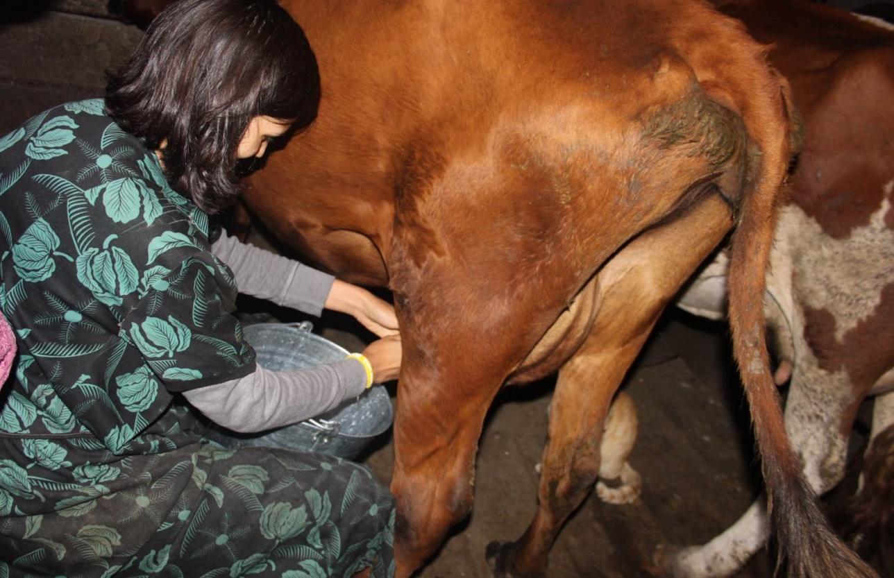 Федерика Теста практикует навыки по доению коровы