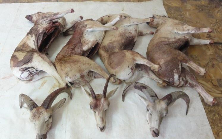 Браконьеры застрелили четырёх архаров