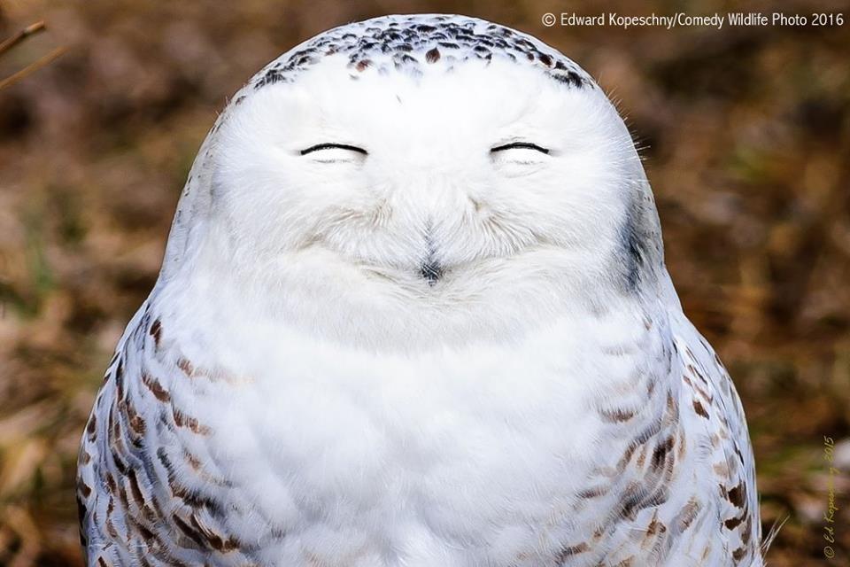 """""""Миссис счастливая"""". Полярная сова, попавшая в объектив фотографа в Канаде"""
