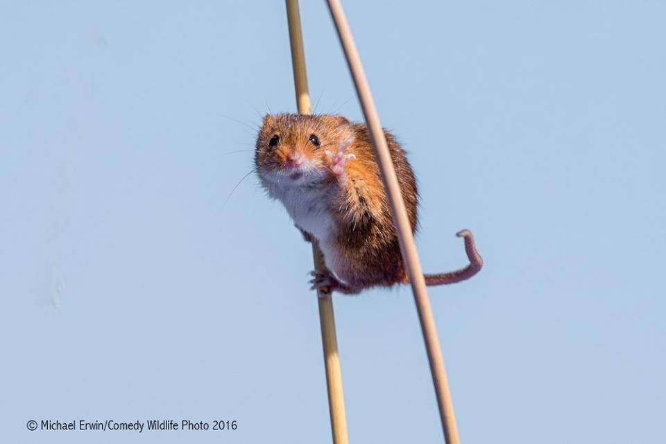 Полевая мышь пришла на ходулях, чтобы помахать фотографу