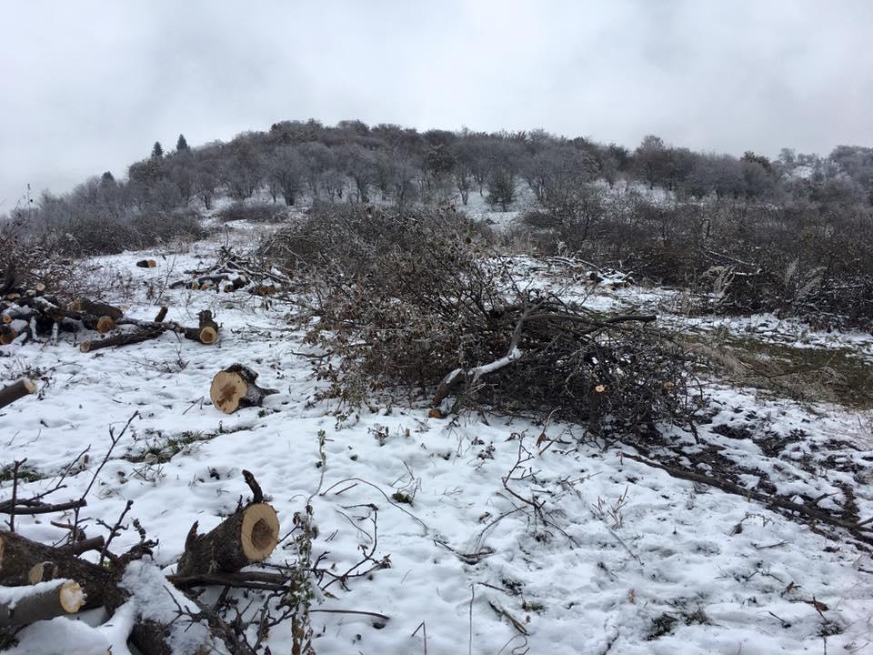 Яблони вырубают в Бутаковке/Фото Ольги Головиной