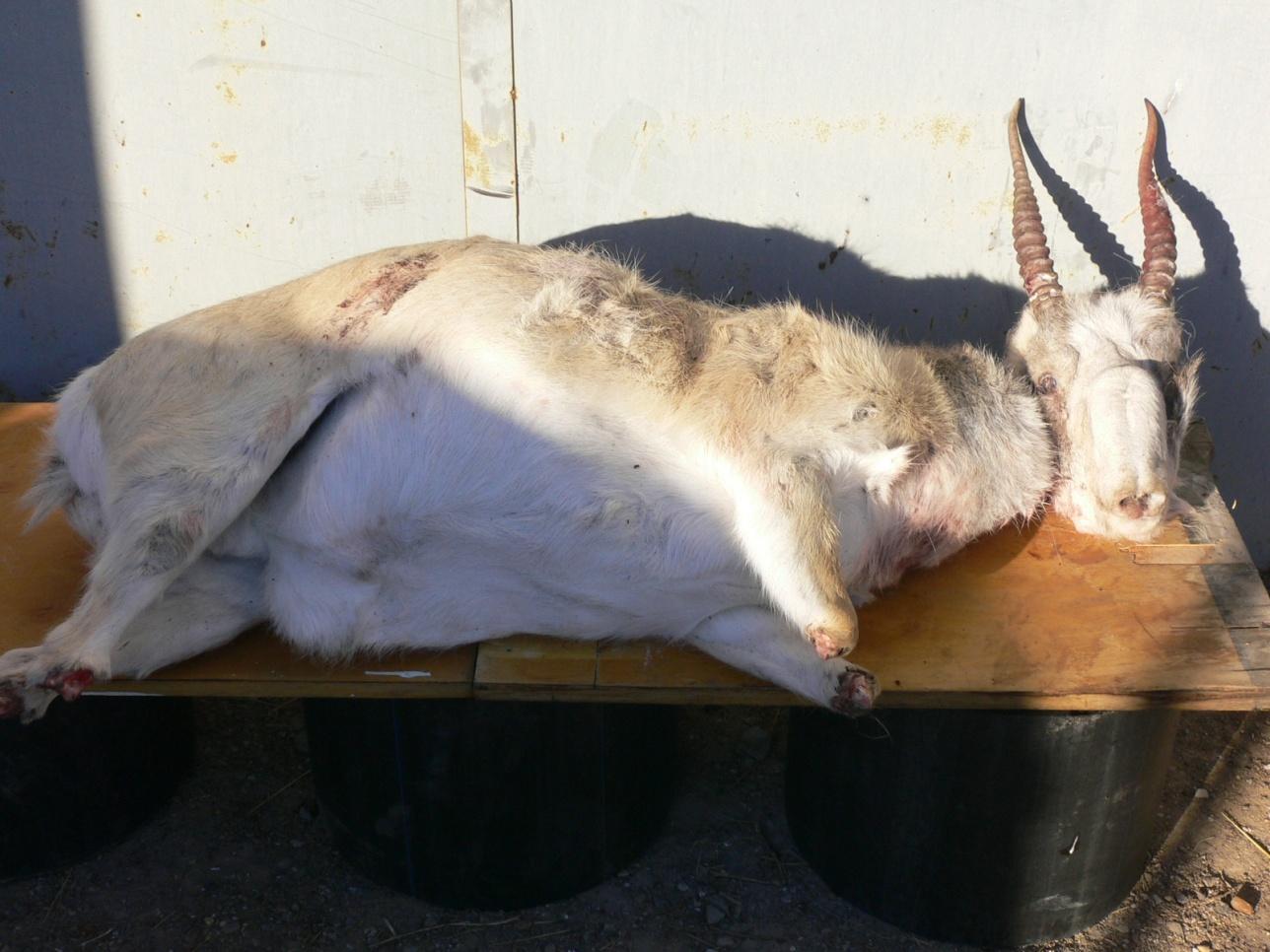 Туши животных всё чаще изымают у браконьеров