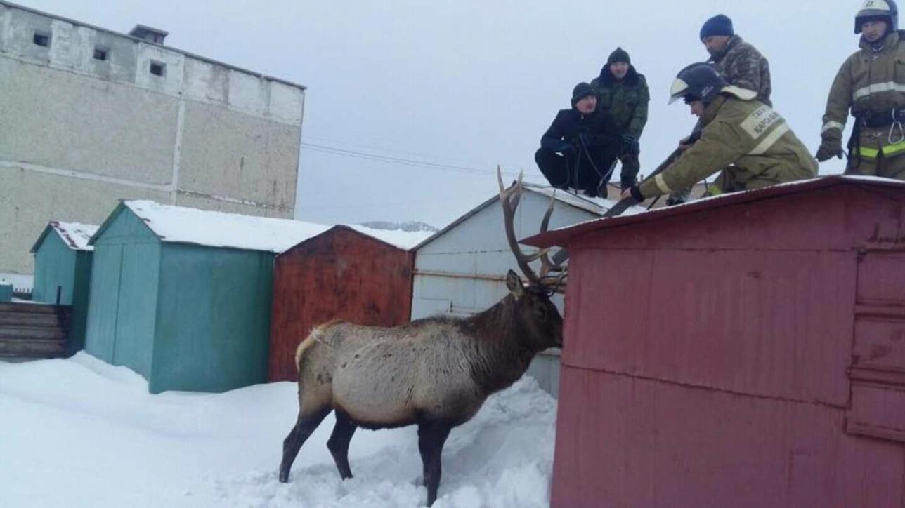 В один из микрорайонов Щучинска забрёл олень