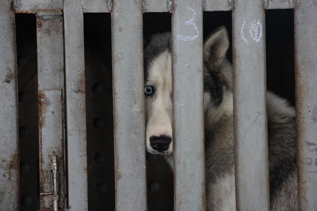 Среди отловленных собак встречаются и породистые