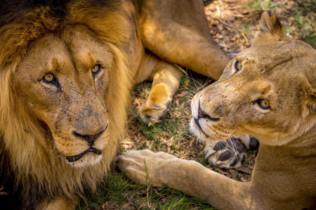 Лев и львица в Lion Park