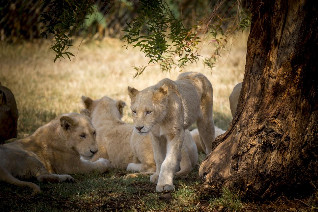 Львята в Lion Park