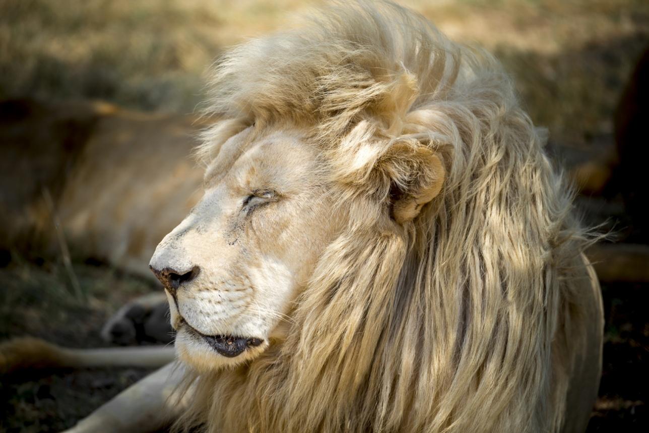 Белый лев в Lion Park