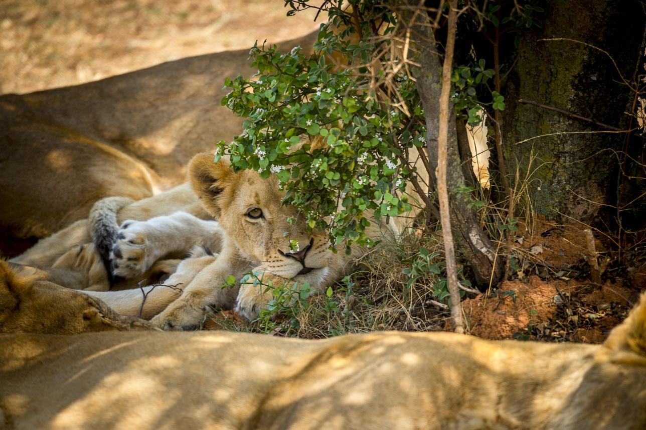 Львы в Lion Park