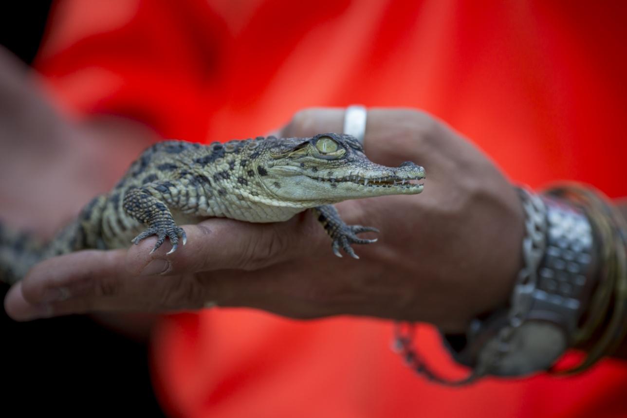 Только что вылупившийся крокодильчик