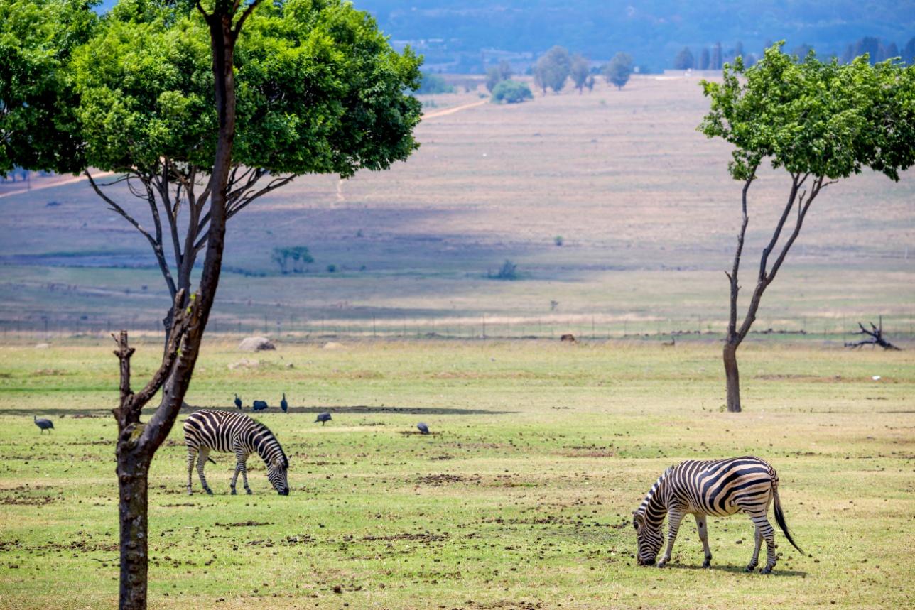 Зебры в южноафриканской саванне