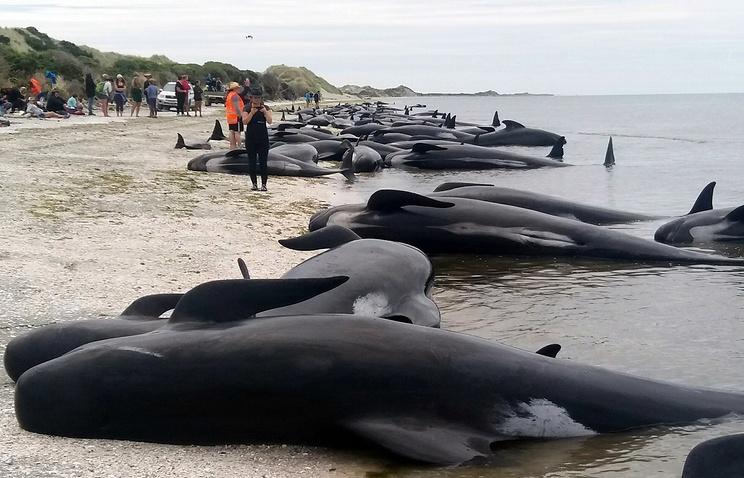 Сотню китов удалось вернуть в воду