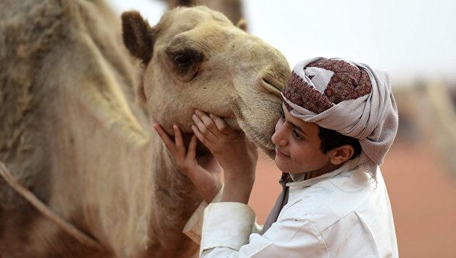 Конкурс красоты среди верблюдов в Эр-Рияде