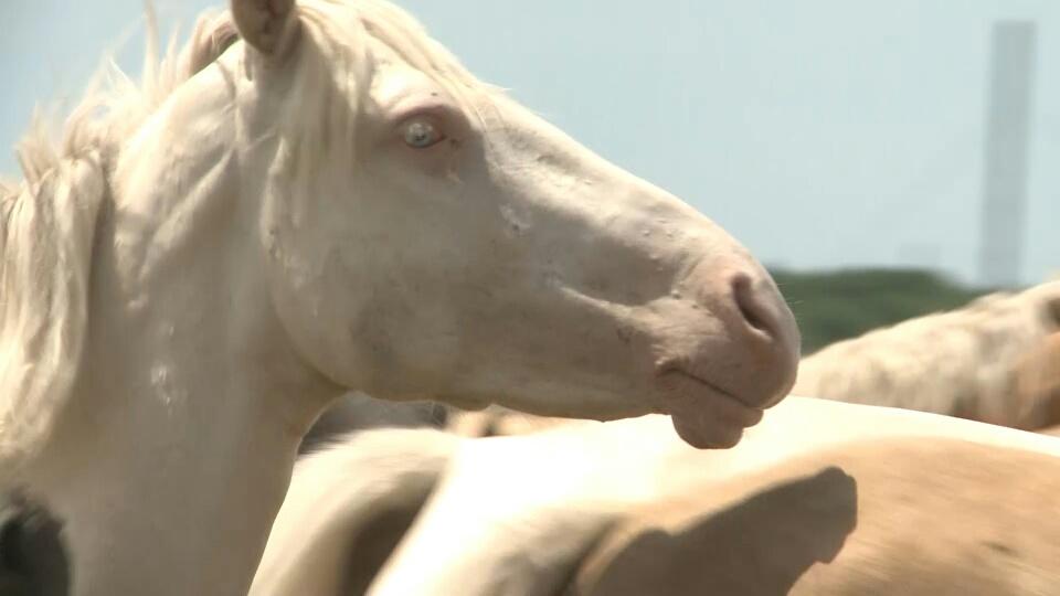 Породу белых голубоглазых лошадей выводят в Талдыкоргане