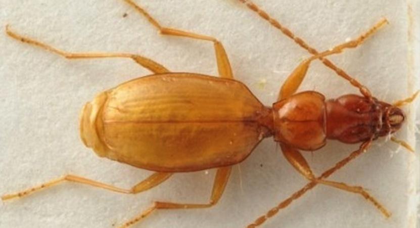 Слепой жук Anophthalmus hitleri