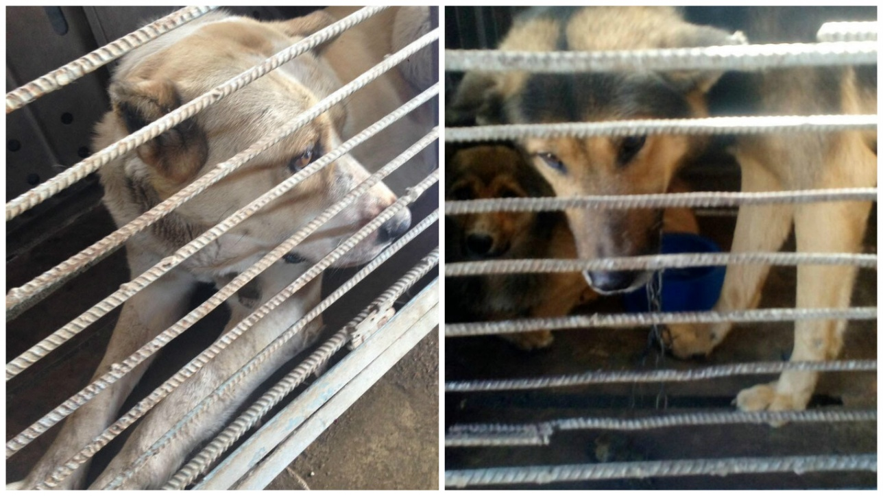 Собаки сидят в клетках без воды