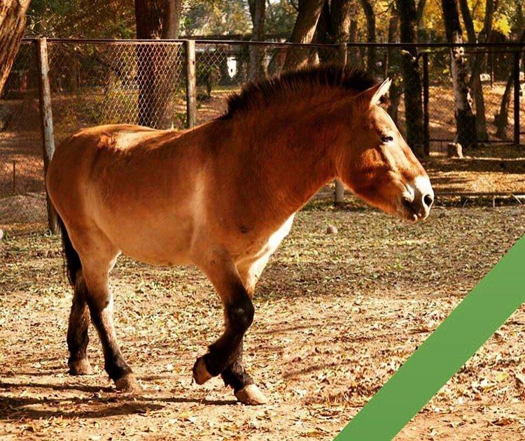 Лошадь Аяз погибла при родах