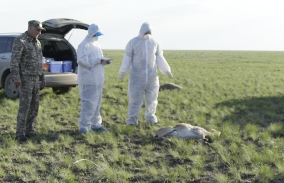 Работы на месте гибели сайгаков