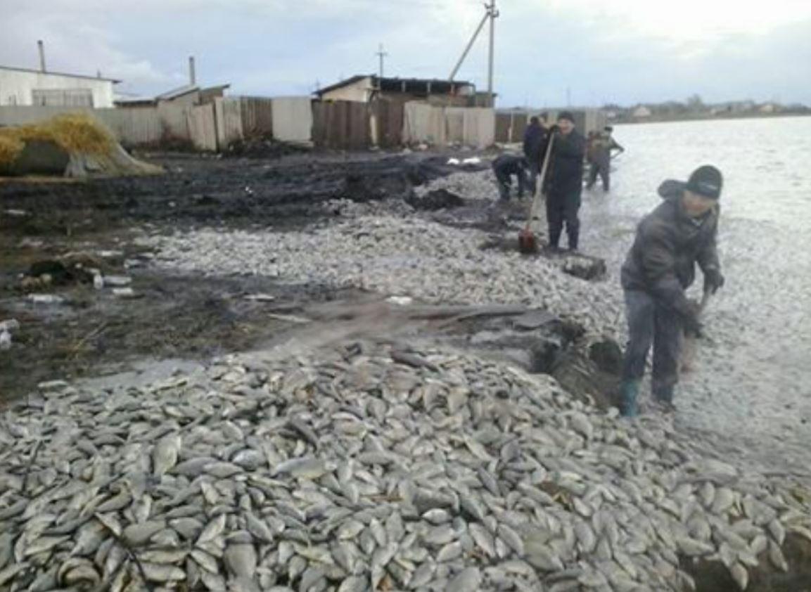 Жители СКО буквально ходили по тоннам погибших карасей