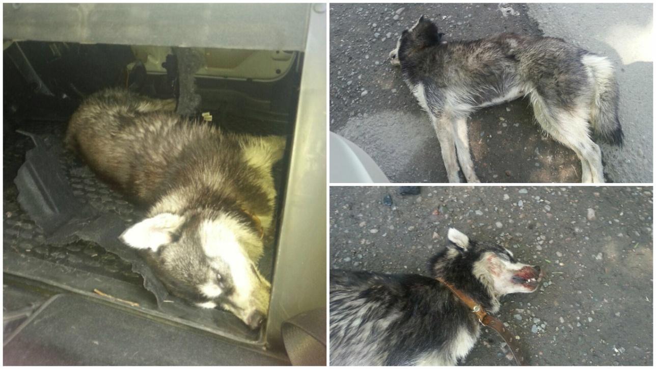 Собака умерла от жары в машине