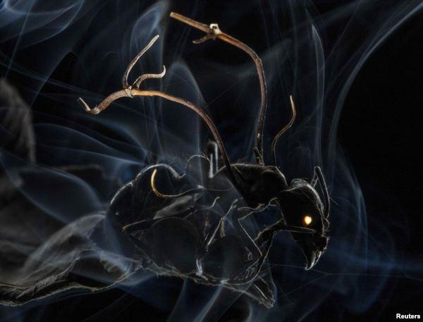 Муравей, атакуемый спорами грибка