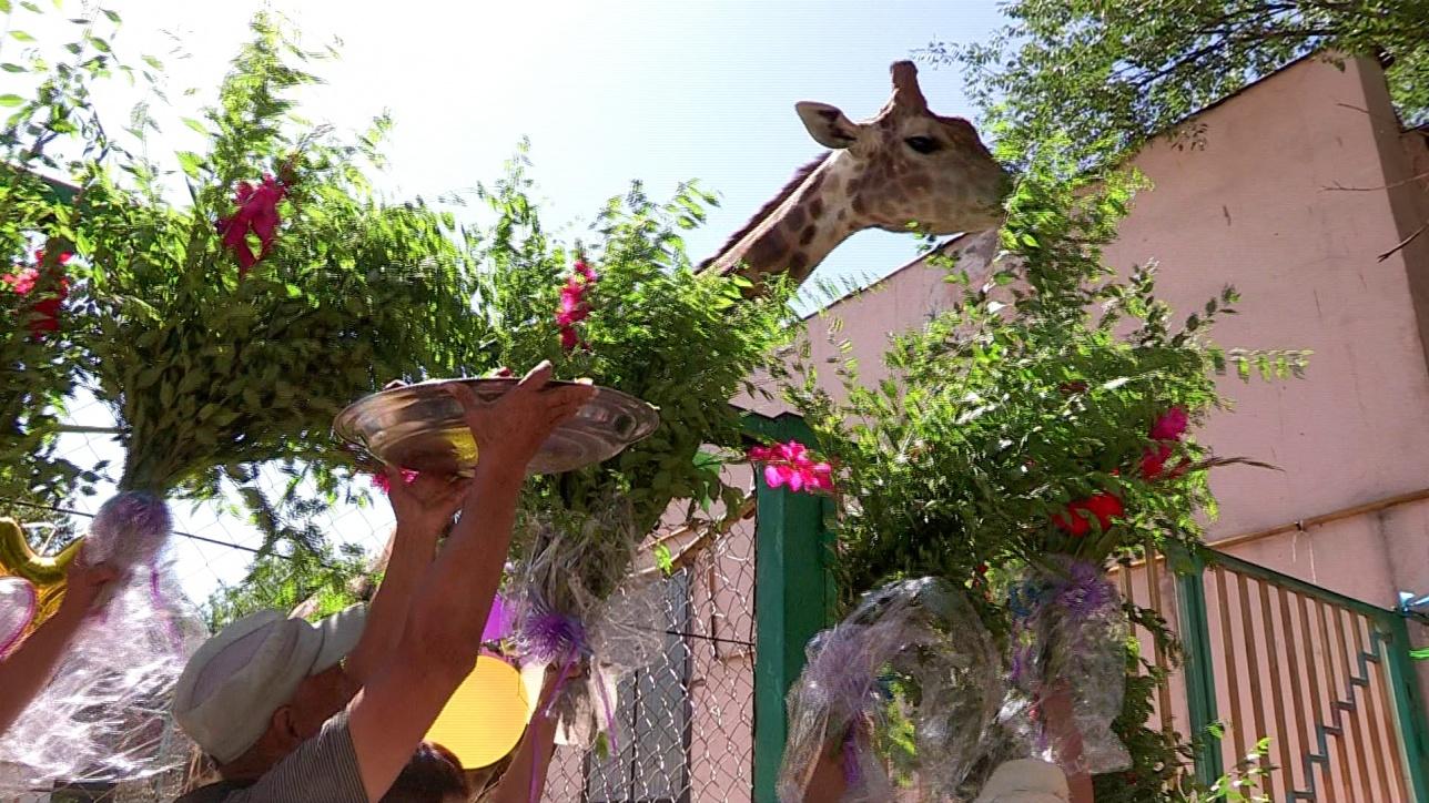 Букеты карагача жирафу подносили с помпой