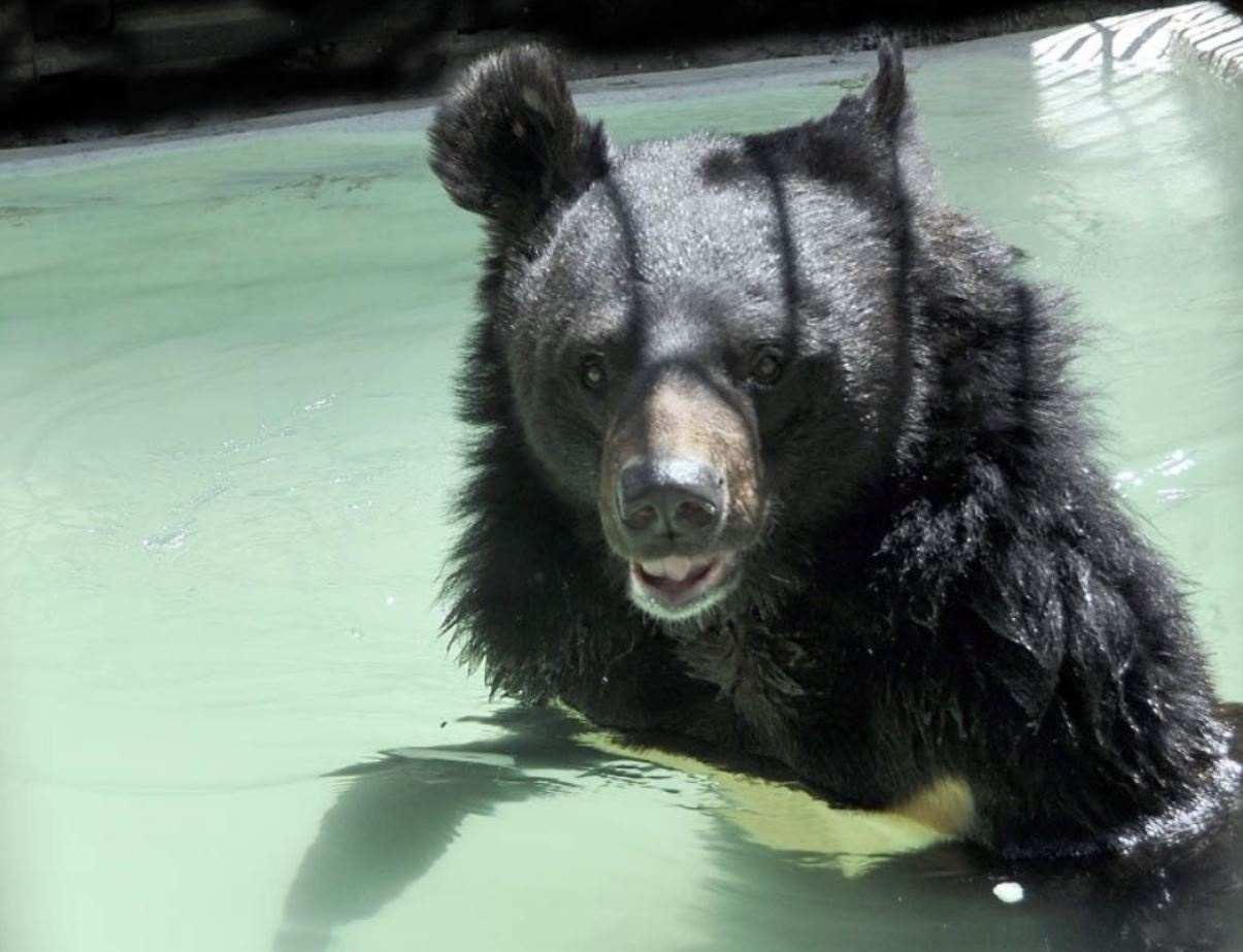 Гималайский медведь Байкал