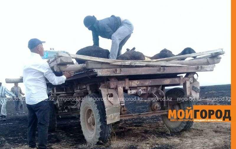 В ЗКО при пожаре сгорело около 200 голов скота