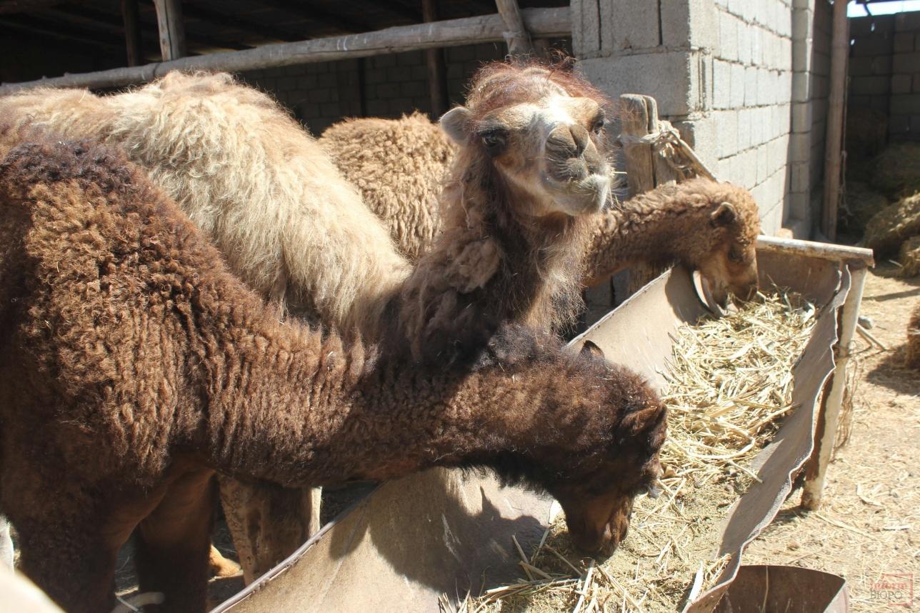 Верблюжата содержатся отдельно