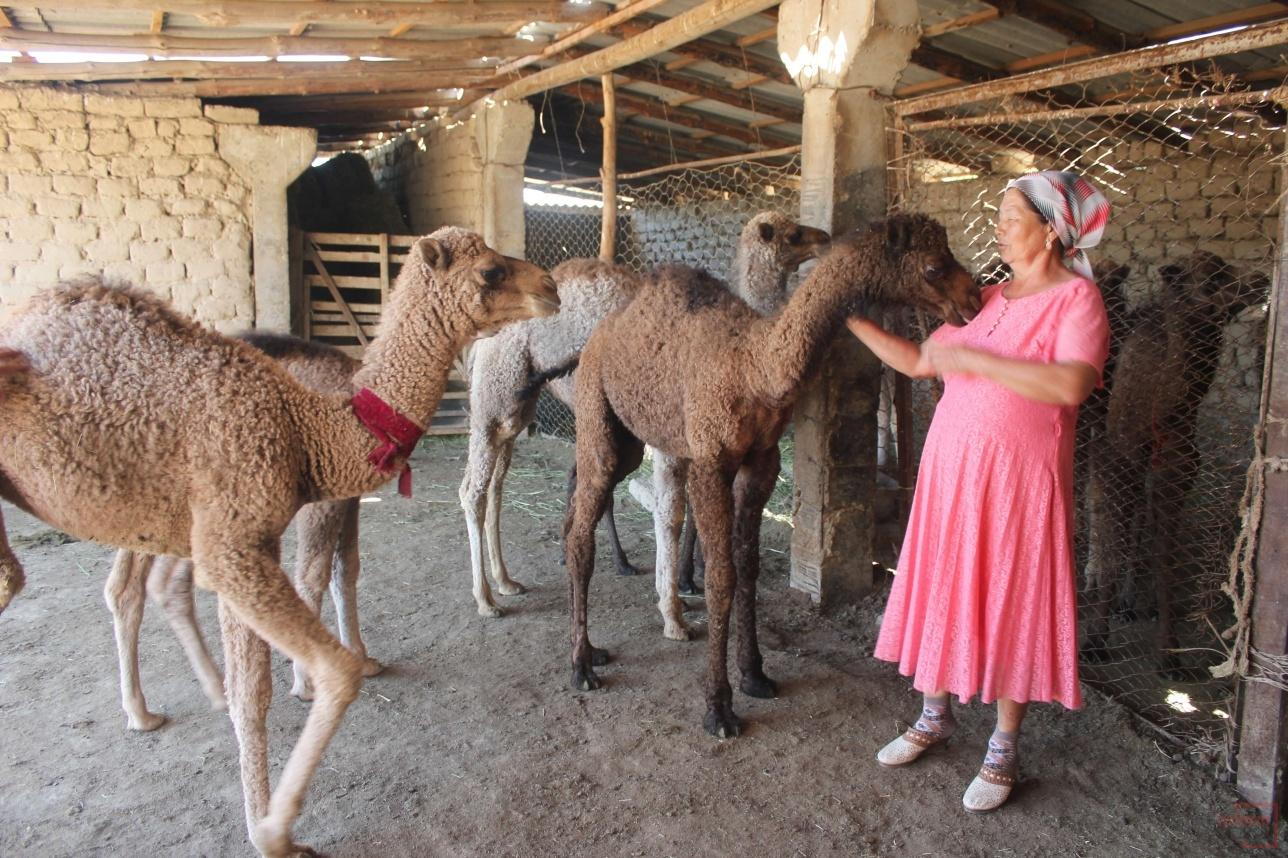 Во времена СССР верблюдов здесь использовали как вьючных животных