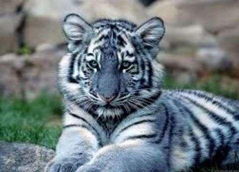 Голубой тигрёнок скоро приедет в Алматы