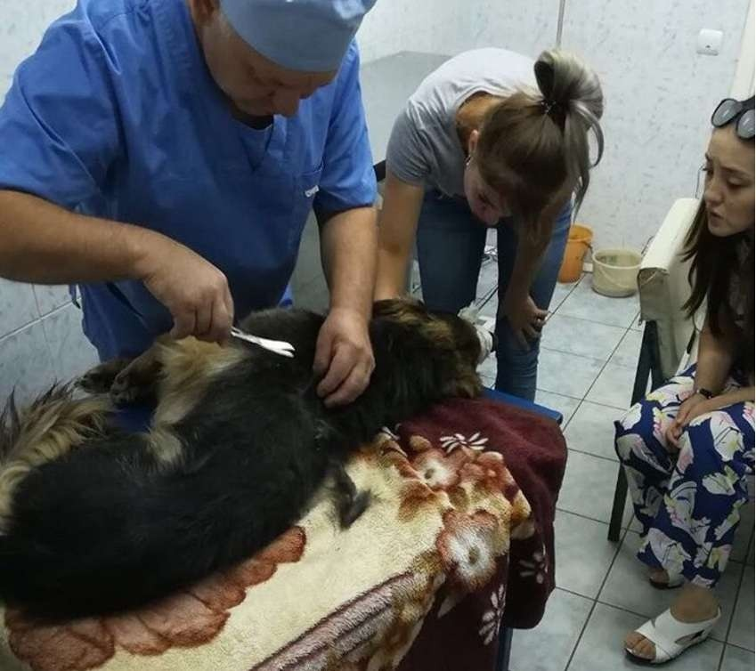 Раненый пёс у ветеринара